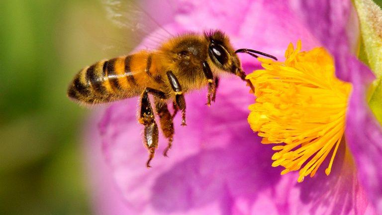 Santiago de Chile se repuebla de Abejas gracias a Plan Bee