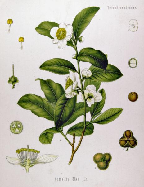 La magia del té: las bondades de una bebida milenaria