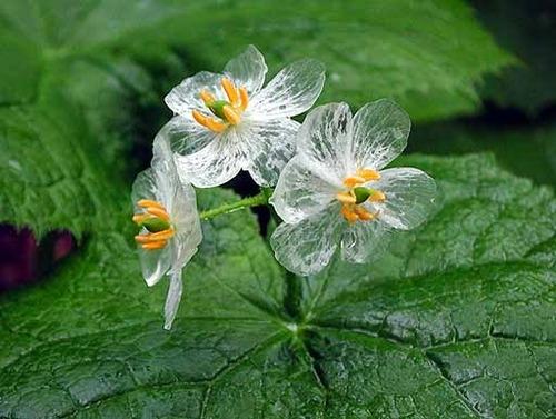 Mágicas flores se vuelven transparentes con el agua de lluvia
