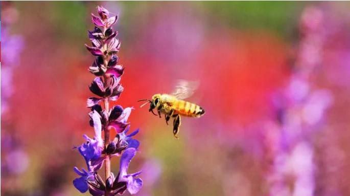 Identifican a uno de los principales culpables de la muerte de las abejas