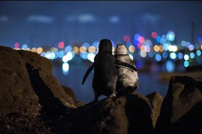 Imagen de pingüinos abrazados conmovió al mundo en cuarentena