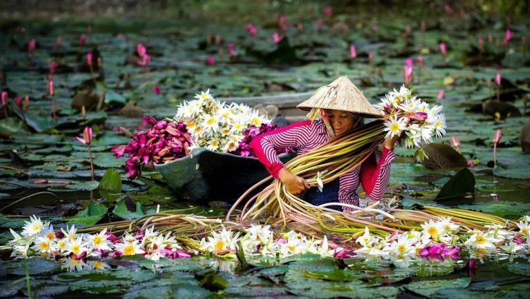 La mágica cosecha de flores de nenúfares y sus tallos comestibles en Vietnam