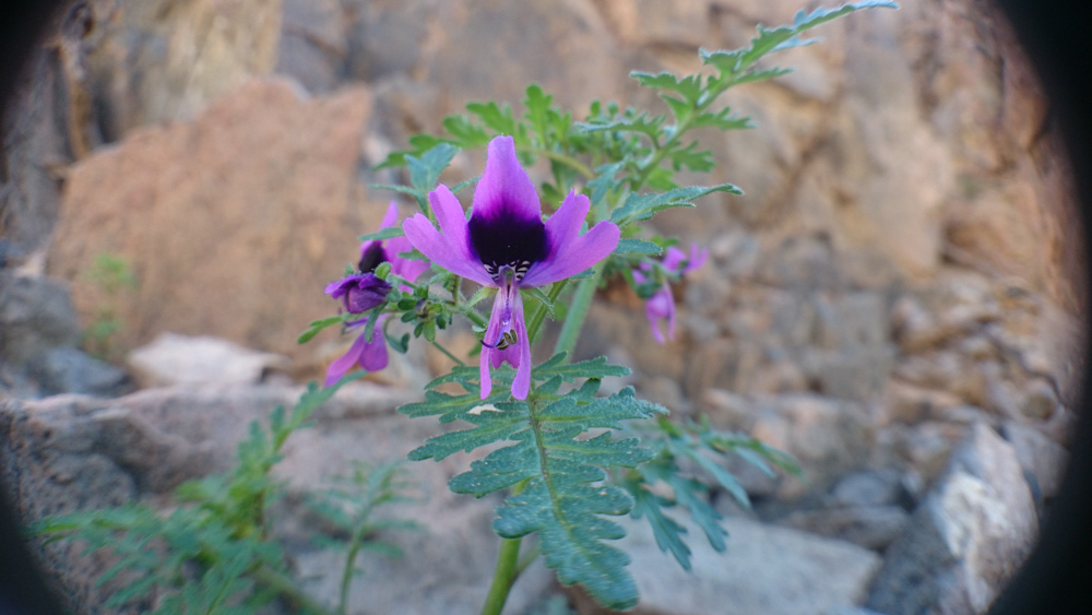 Nueva especie de  flor descubierta en el Desierto de Atacama